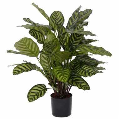 Calathea makoyana 67 cm