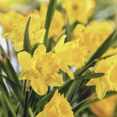 Feest servetten narcis bloemenprint 20 stuks