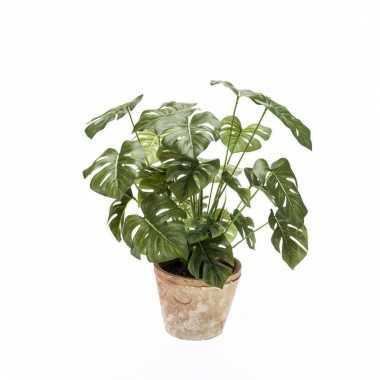 Monstera plant in terra cotta pot 50 cm