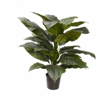 Spathiphyllum 90 cm