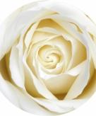 Onderzetters voor glazen met witte roos 10 st