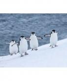 Pinguins maxi poster 61 x 92 cm