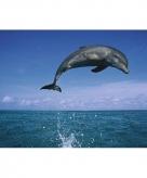 Poster dolfijnen 61 x 91 5 cm