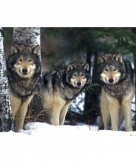 Poster wolven 61 x 91 5 cm