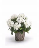 Witte hortensia plant in mand 45 cm