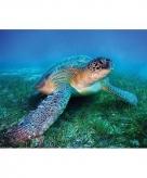 Zeeschildpadden maxi poster 61 x 92 cm
